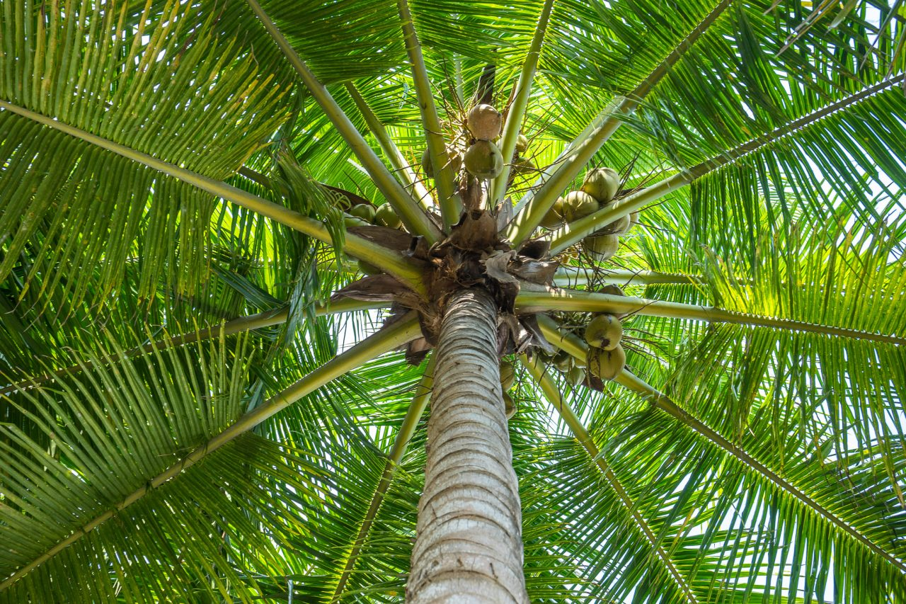 https://agro.agafglobal.com/wp-content/uploads/2020/11/Costa-Rica-Palm-Tree-Coconut-03377-1280x853.jpg